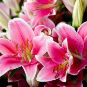 Rainbow Lilies